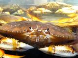 Fresh Crabs! Pike Place Market Renee's Journey IFBC Seattle, WA