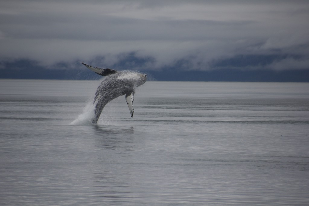Humpback Whale Journey to Alaska